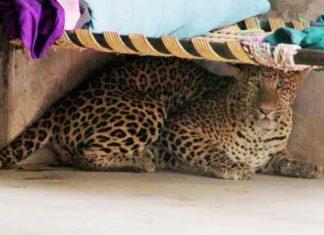 leopard-killed-goat-in-chadrapur-district
